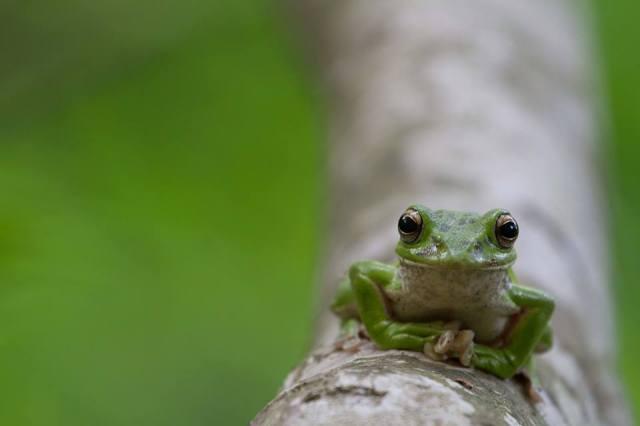 Kunito Imai, Forest Green Tree Frog